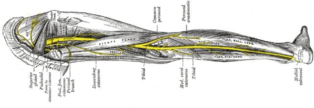 Rwa kulszowa i anatomia nerwu kulszowego